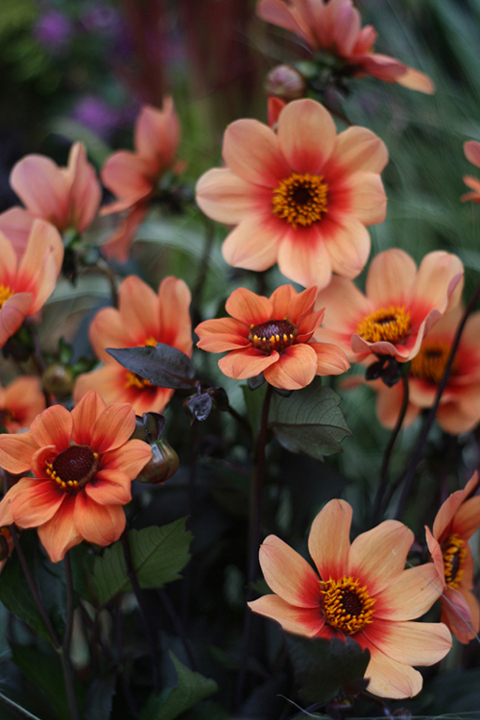 Single dahlias